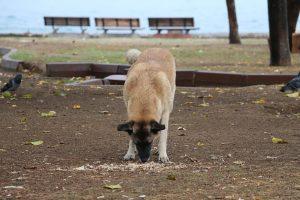 Kako psi dobiju gliste