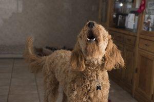 Zašto pas laje