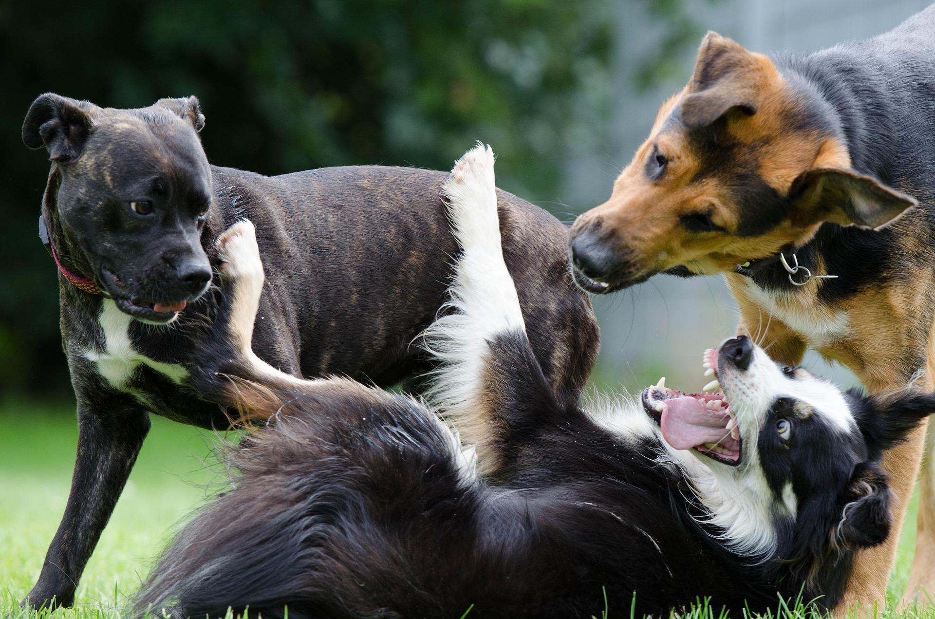Agresivni psi