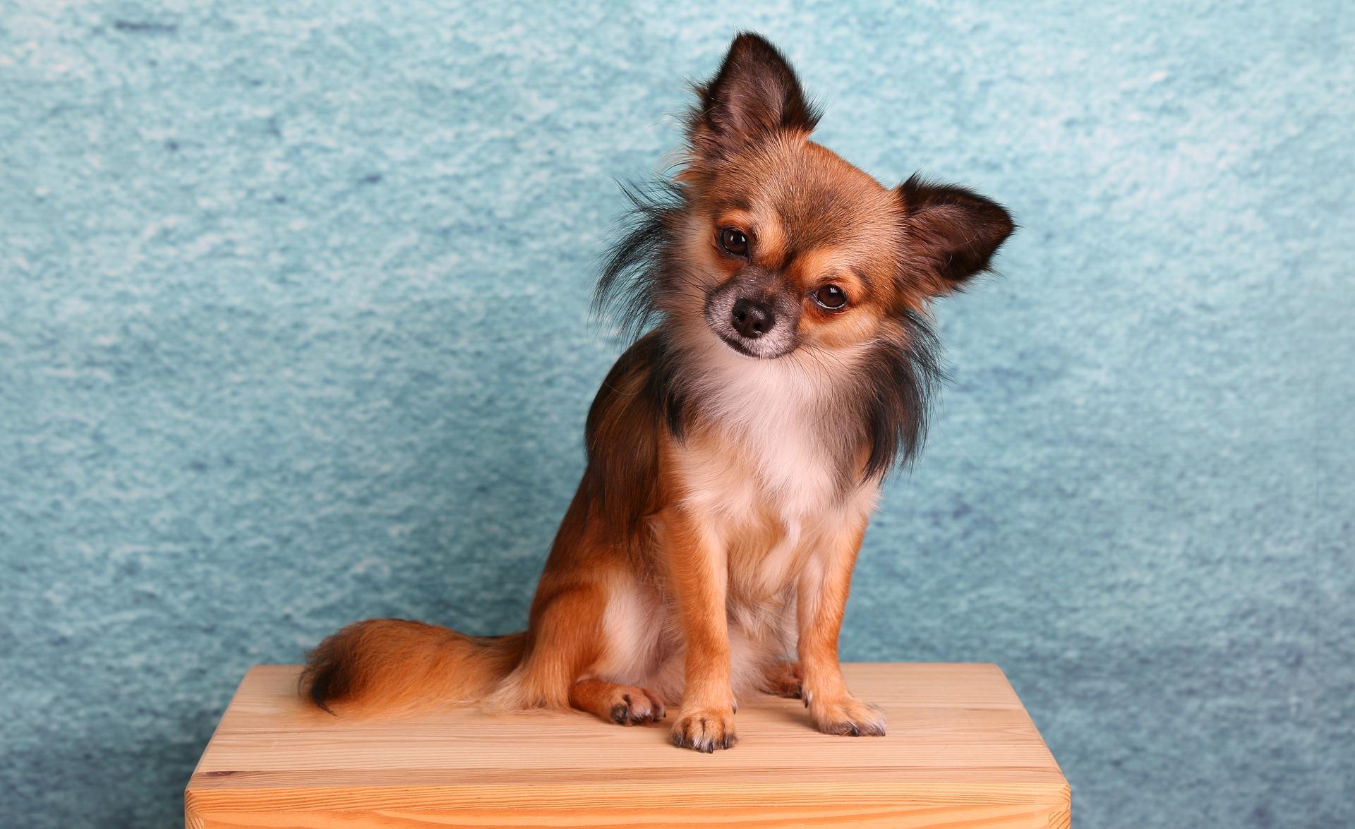 Chihuahua pas