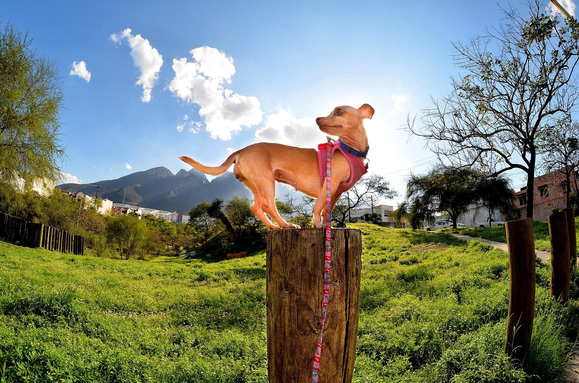 Chihuahua psi