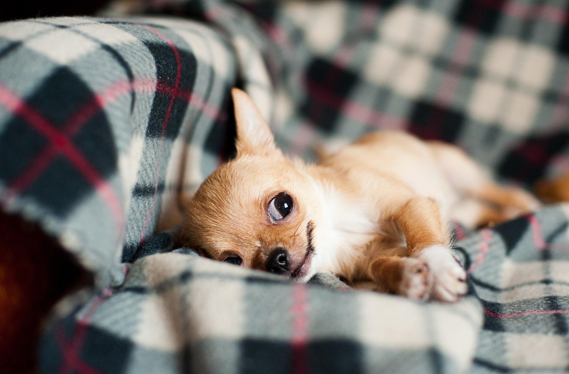 Karakteristike Chihuahua pasmine pasa