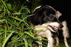 Zašto pas jede travu