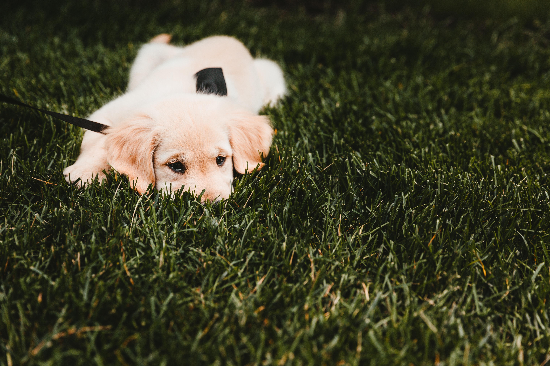 Zašto pas jede travu pa povrat