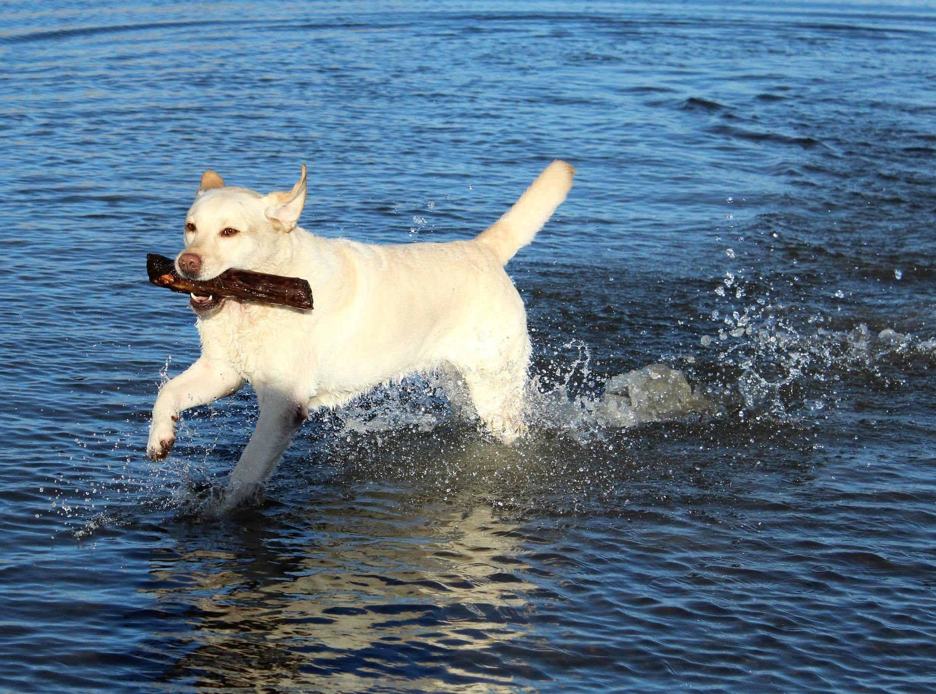Labrador retriver pasmina pasa