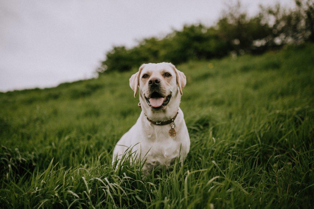 Labrador Retriver pas