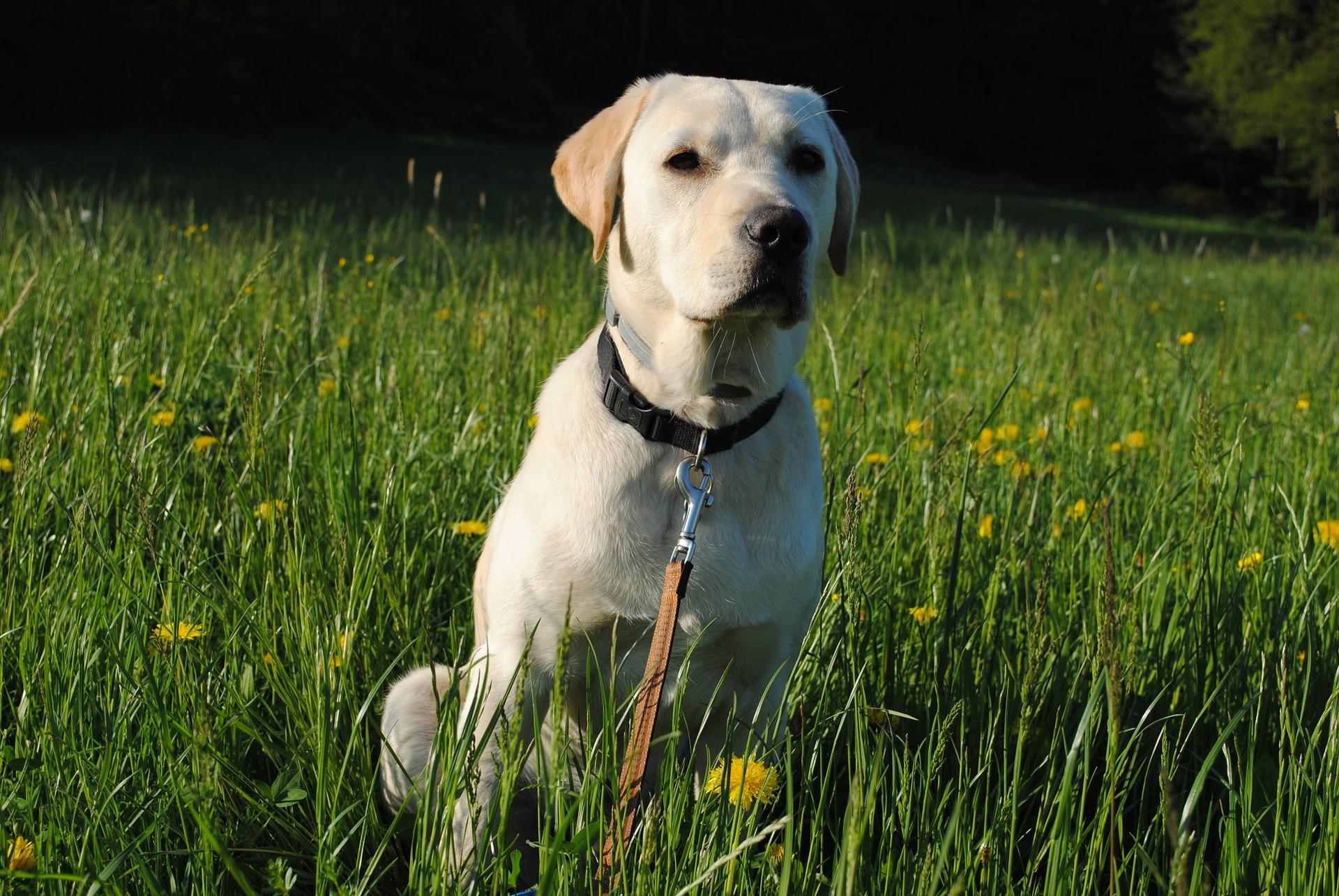 Kako hraniti Labradora