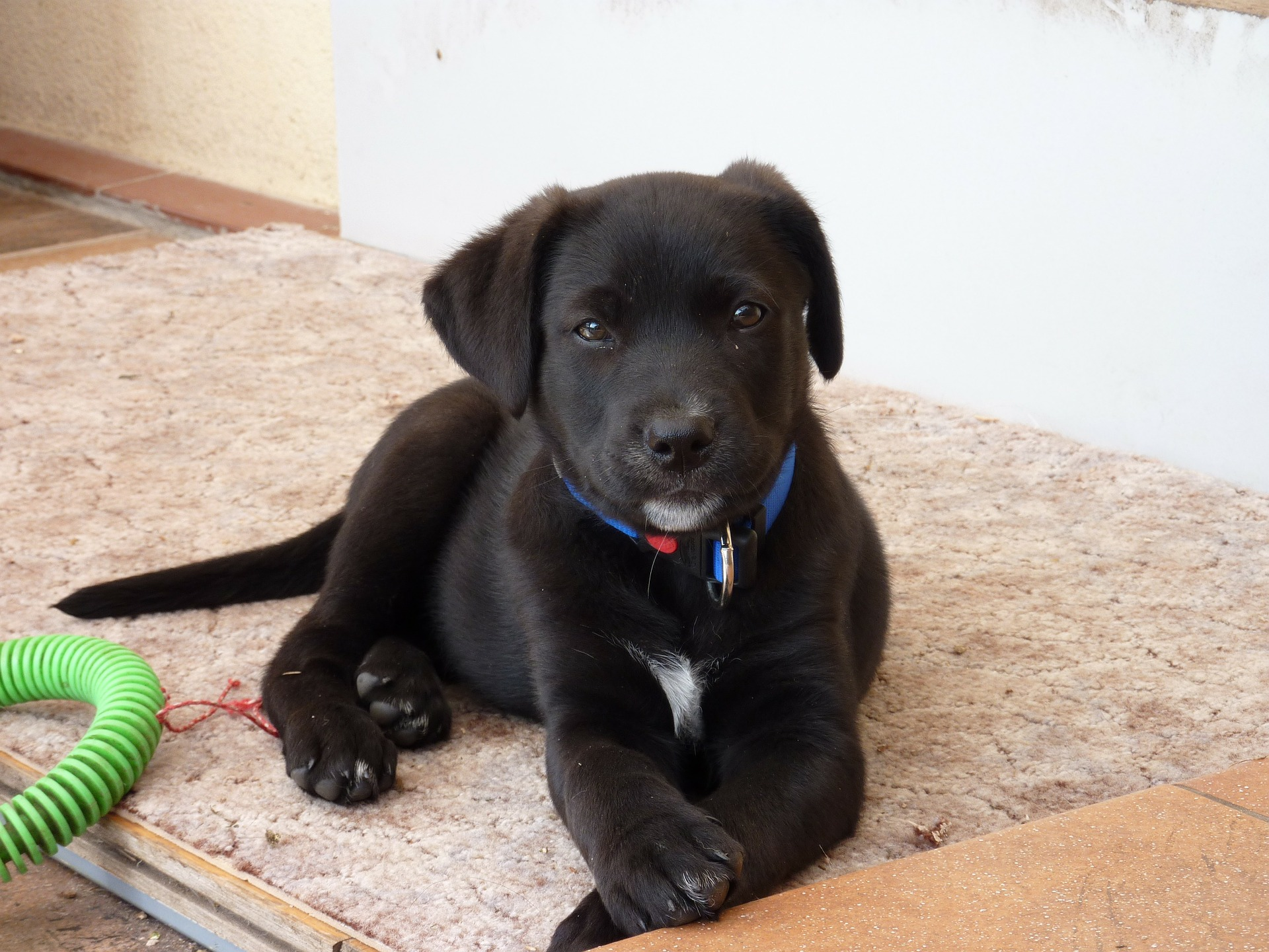 Slika štenca Labradora retriver