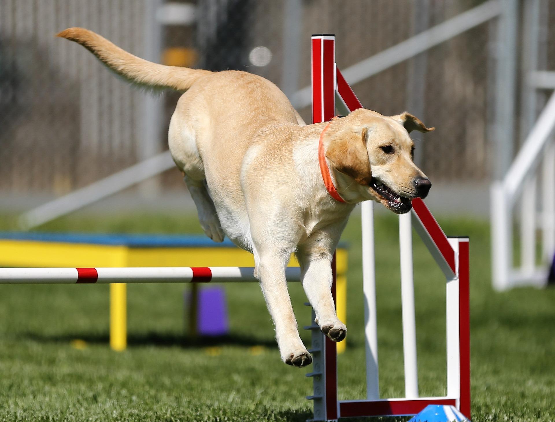 Slike Psa Labrador Retriver