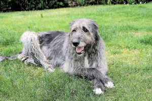 Škodski Jelenski Hrt ili Scottish Deerhound