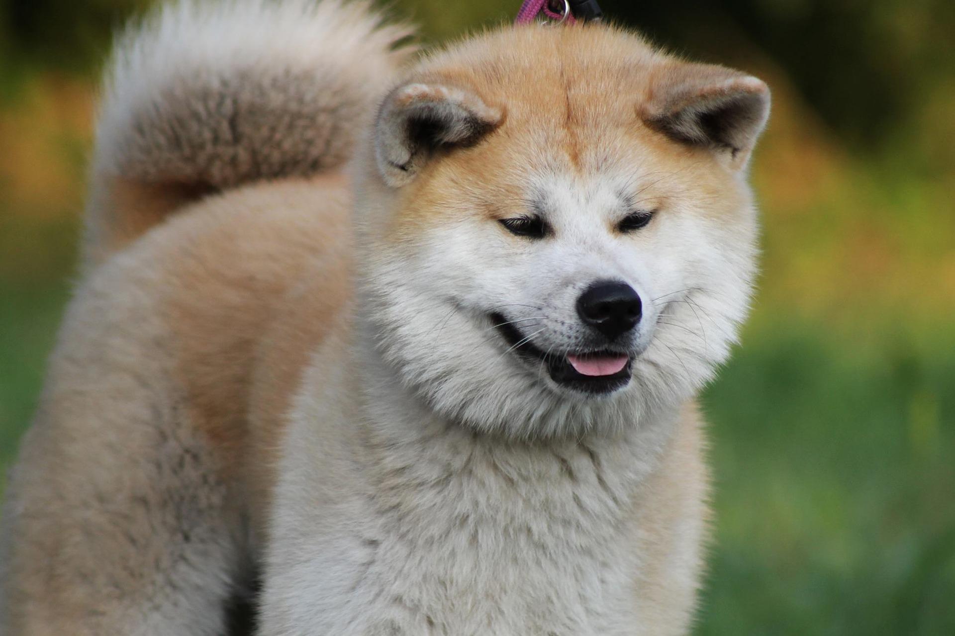 Ponašanje Akite psa