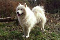 Samojed pas