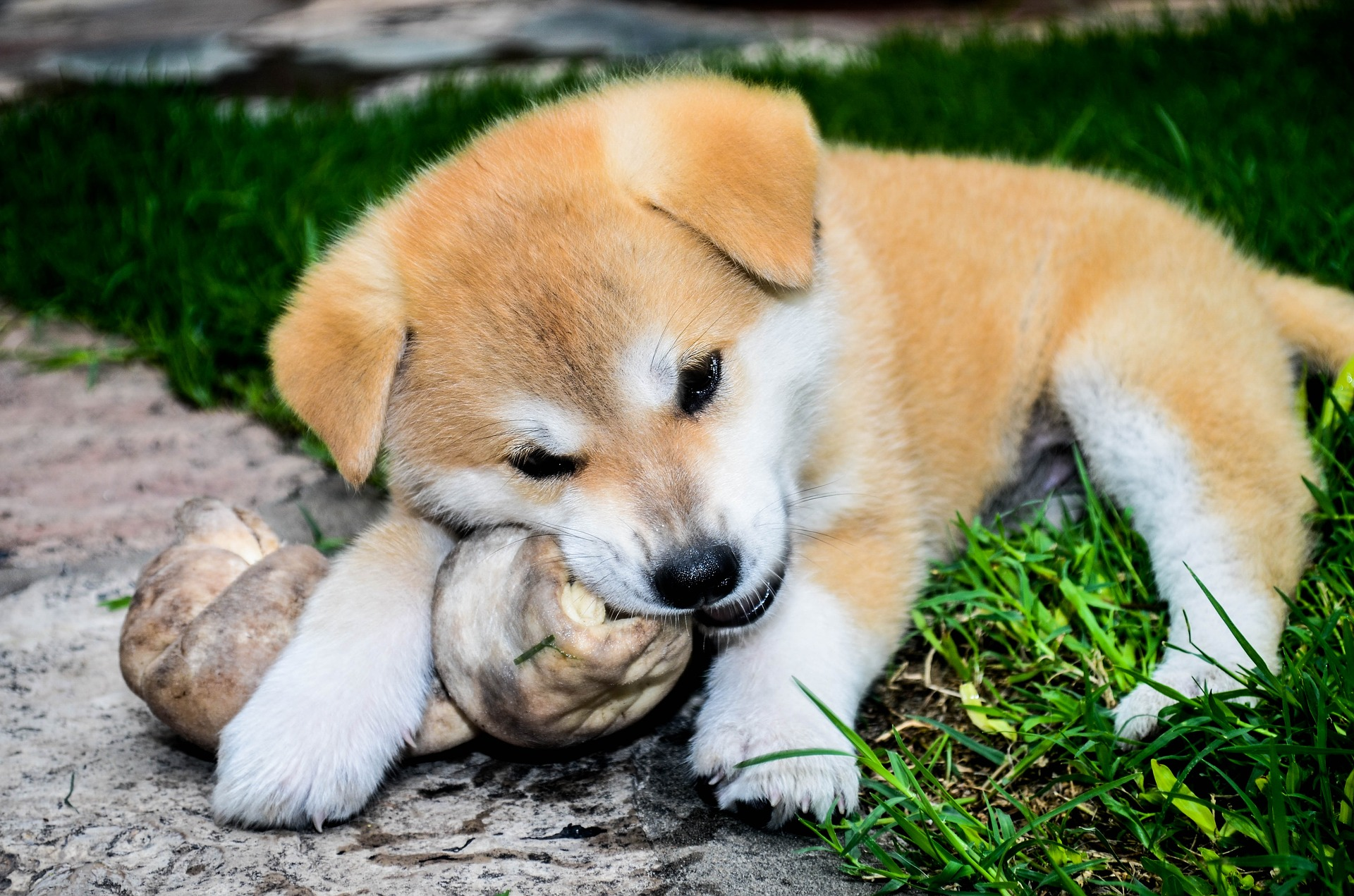 Slika štenaca Akite Inu