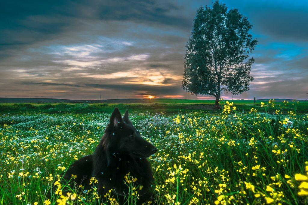 Belgijski ovčar pas