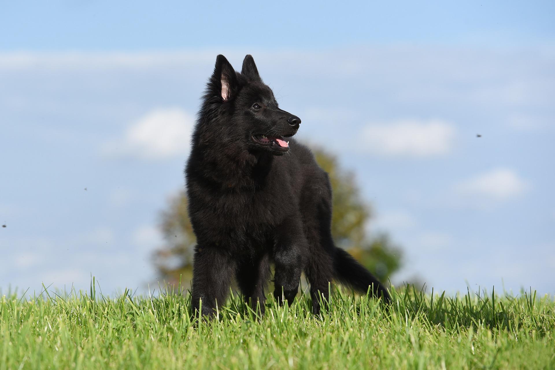 Crni Belgijski Ovčar