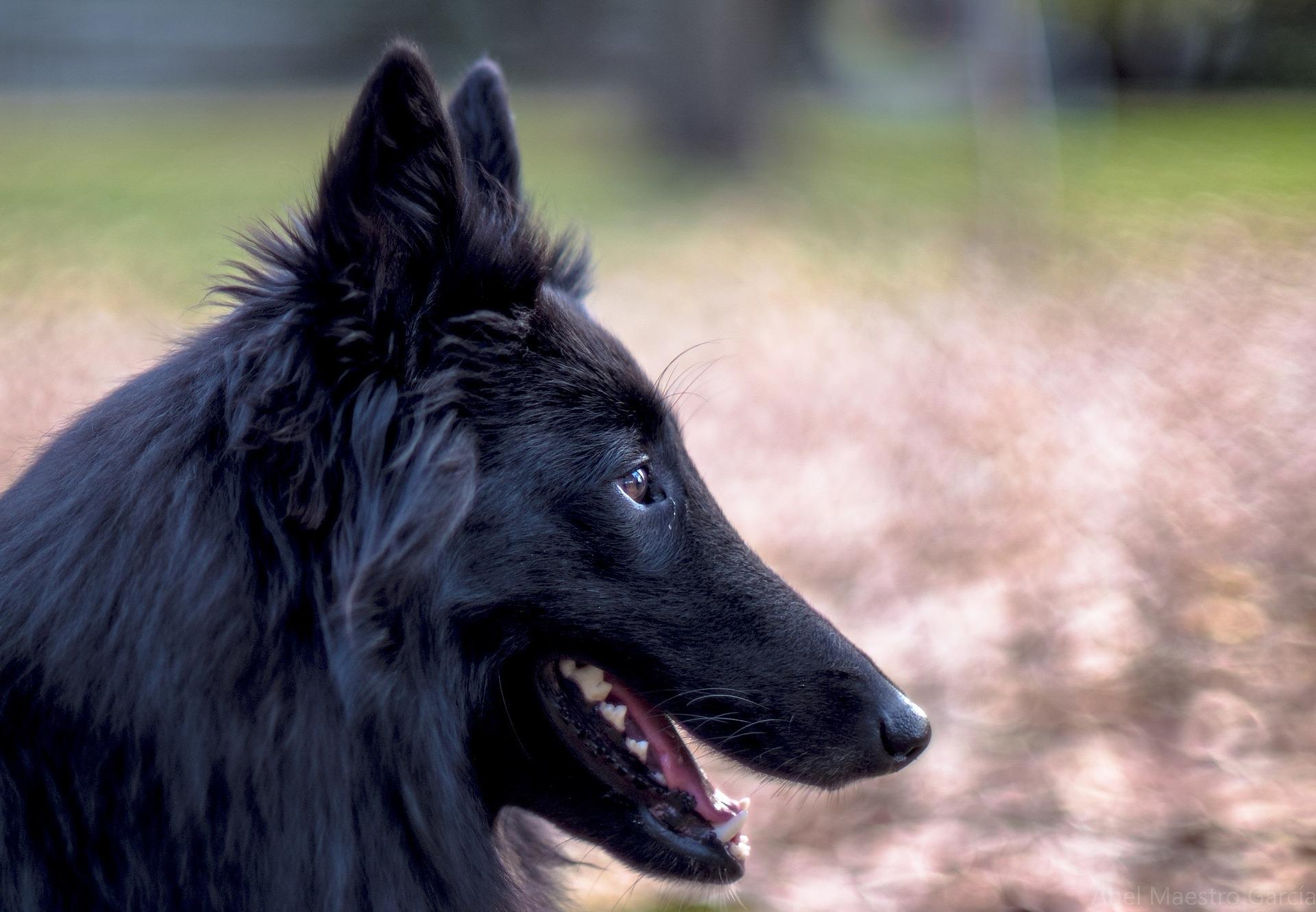 Ponašanje psa Belgijski ovčar