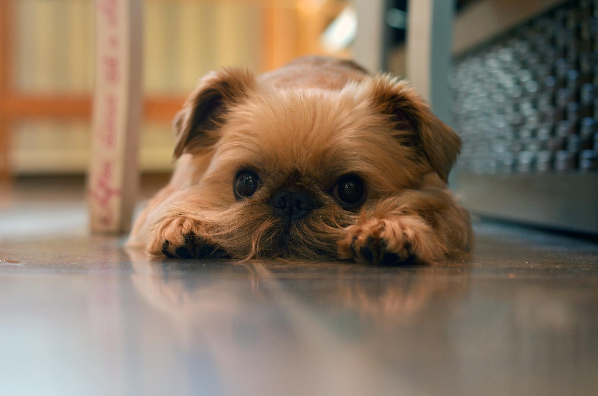 Simptomi anksioznosti kod pasa