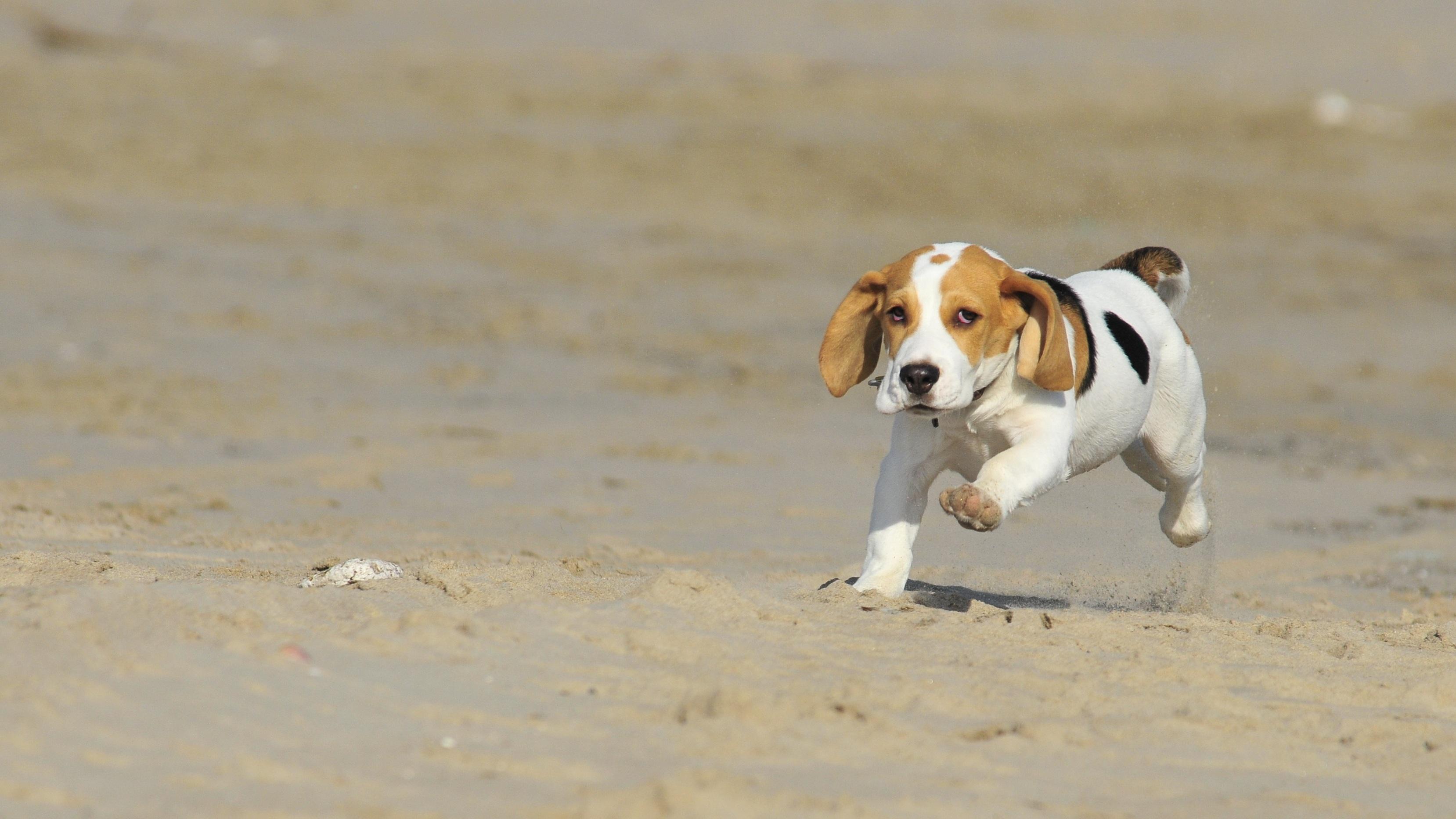 Slika štenaca Bigla