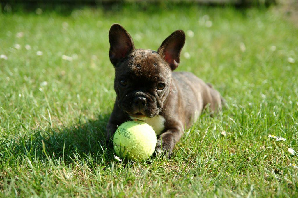 Slika štenaca Francuskog Buldoga