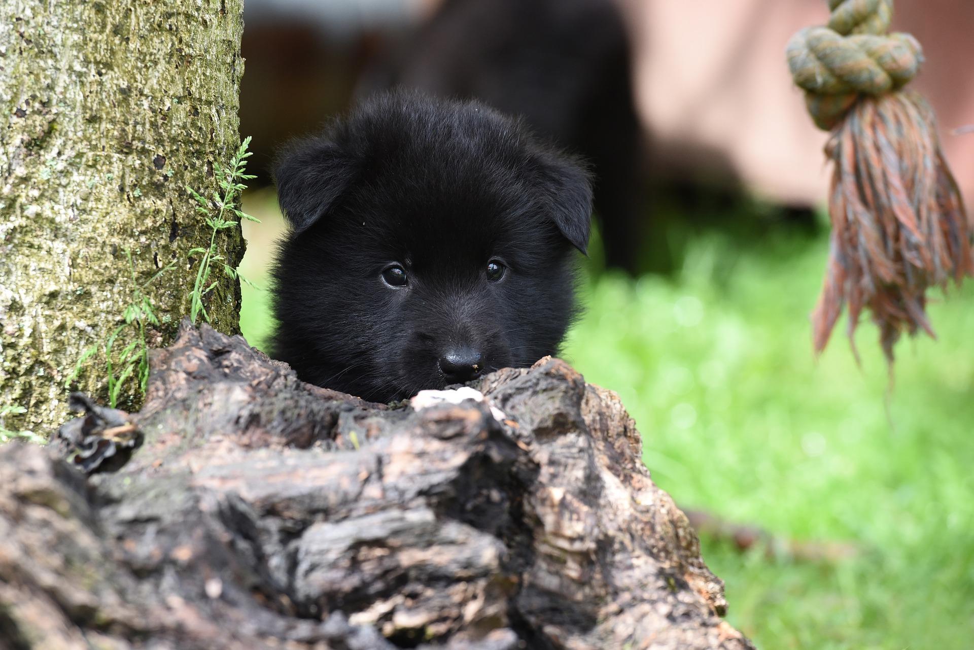 Slika štenca Belgijskog ovčara