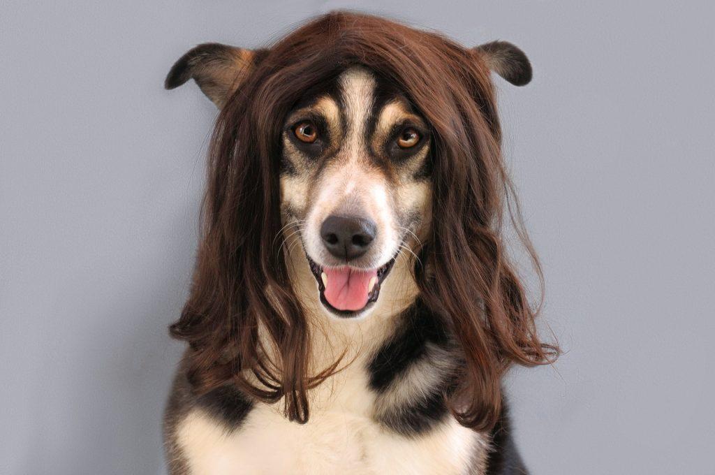 Smiješni pas s perikom