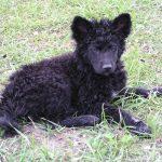 Hrvatski Ovčar pas