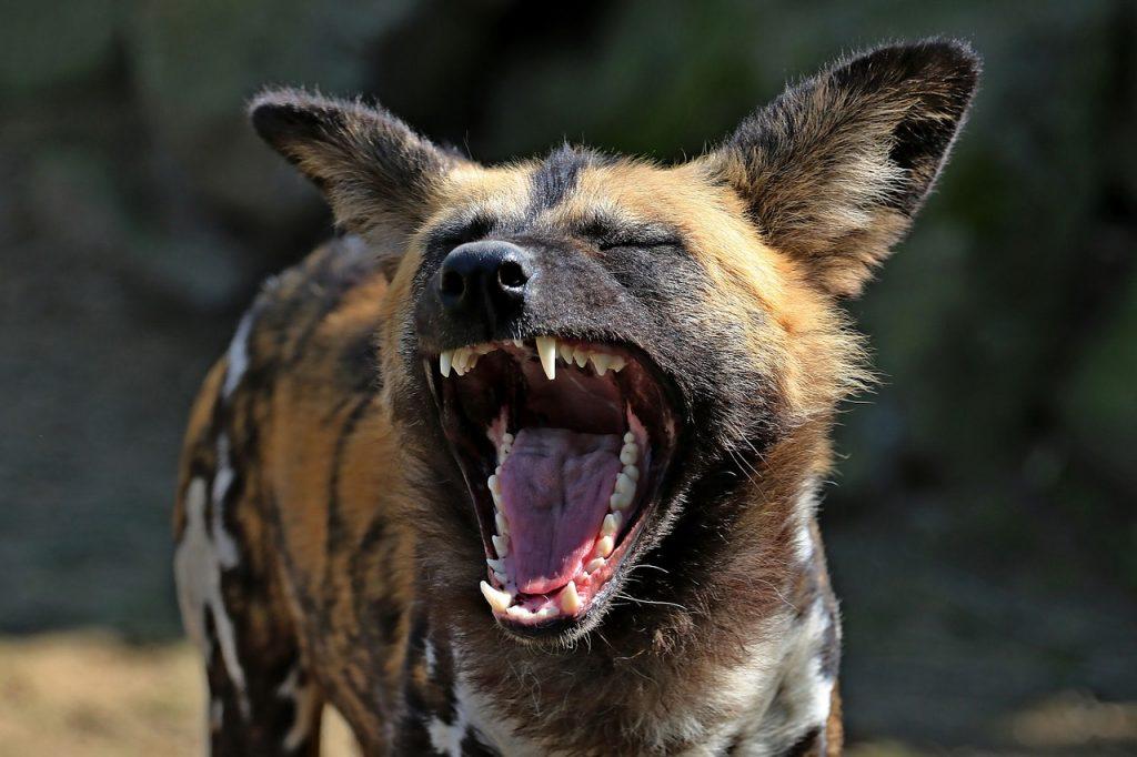 Afrički Divlji Pas