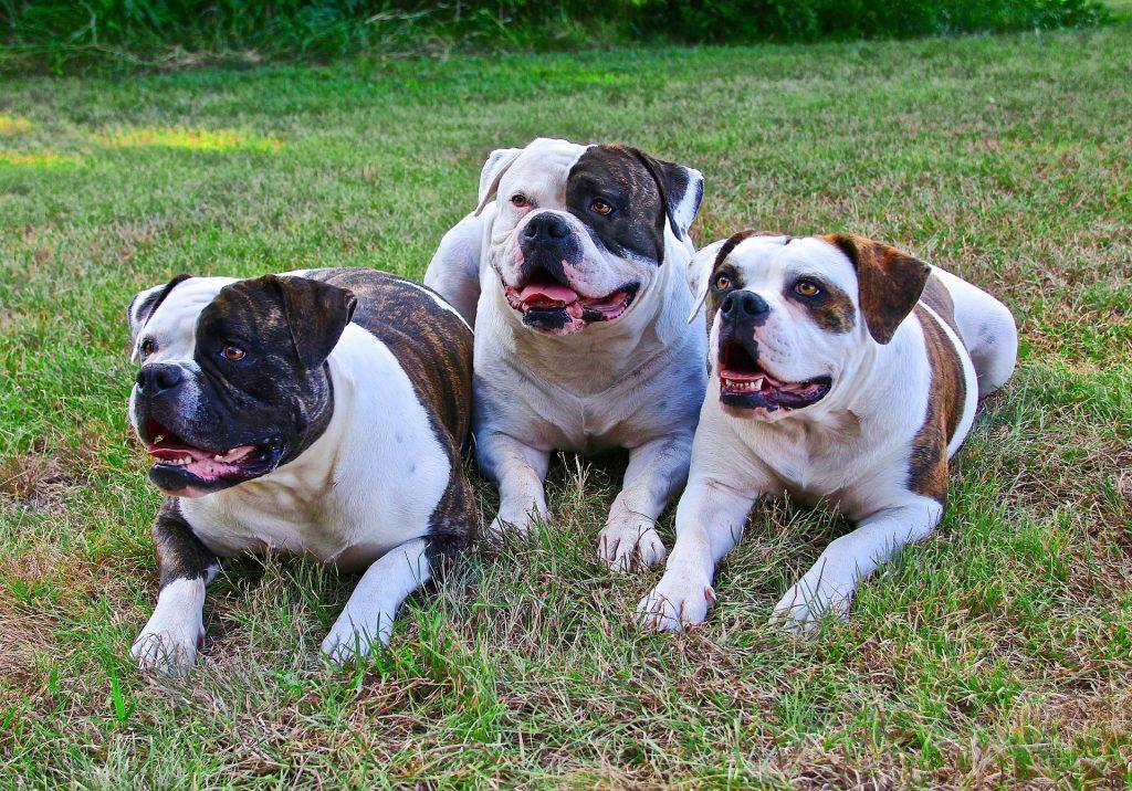 Američki Bulldog psi