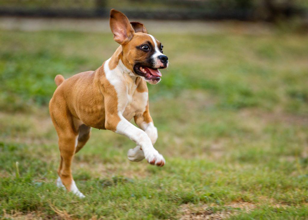 Američki stafordski terijeri psi
