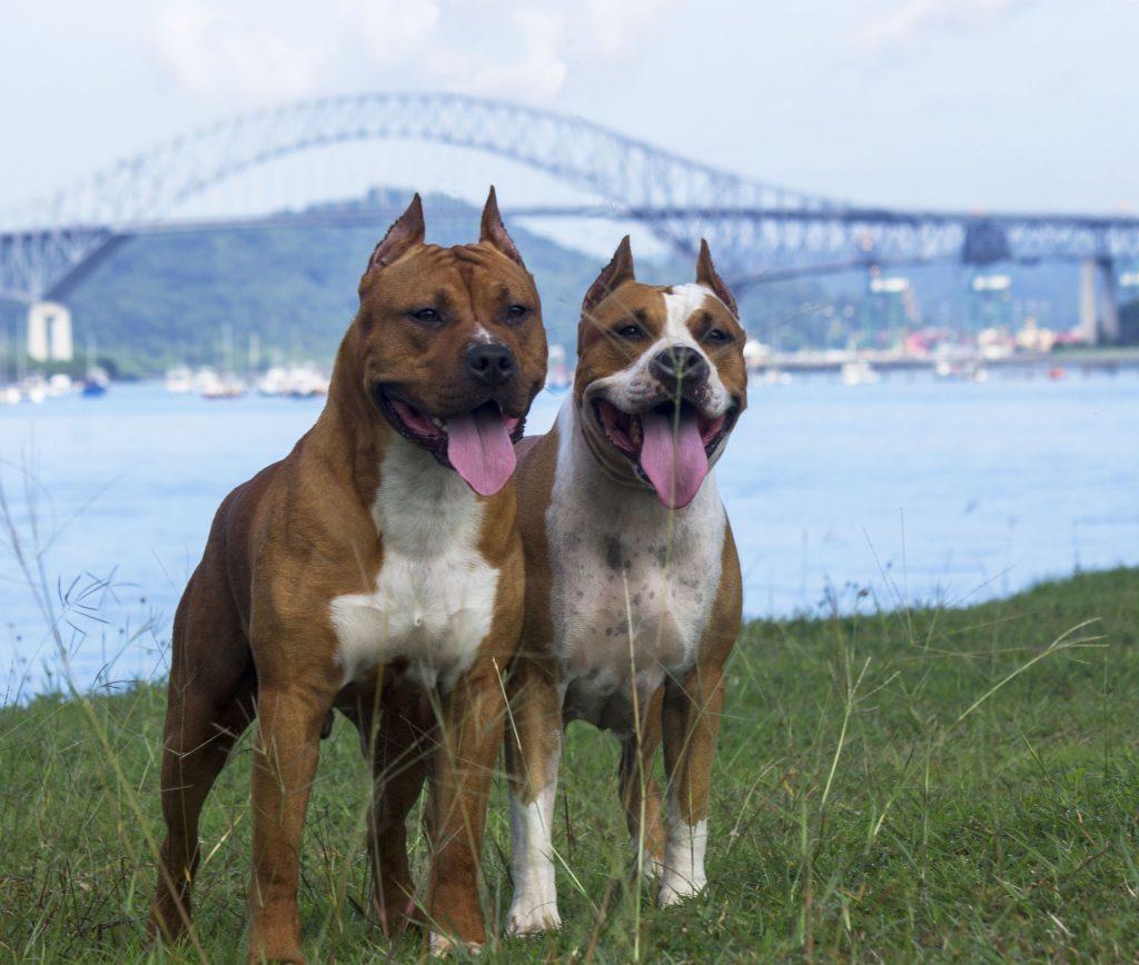 Mišićavi psi