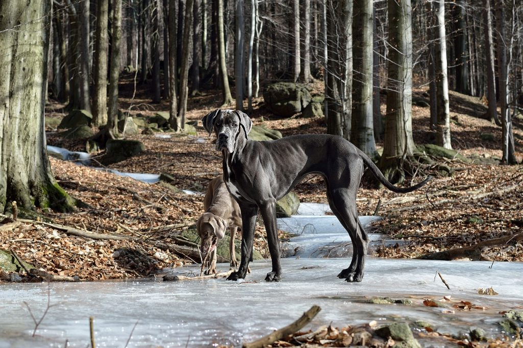 Njemačka Doga pas