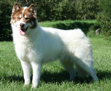Kanadski Eskimski Pas