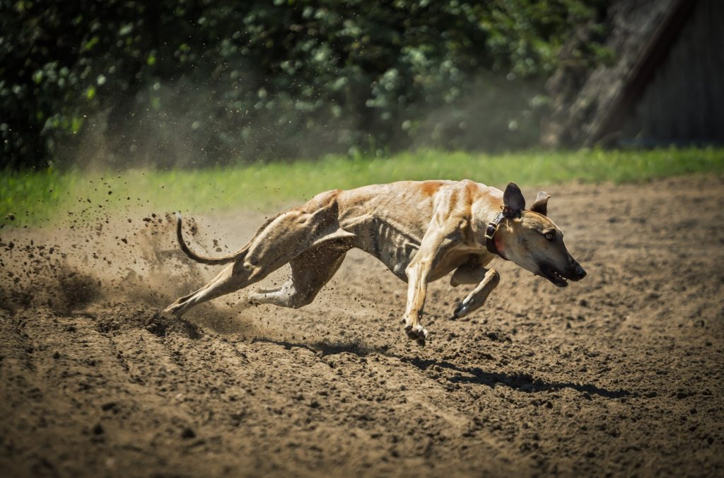 Najbrži psi