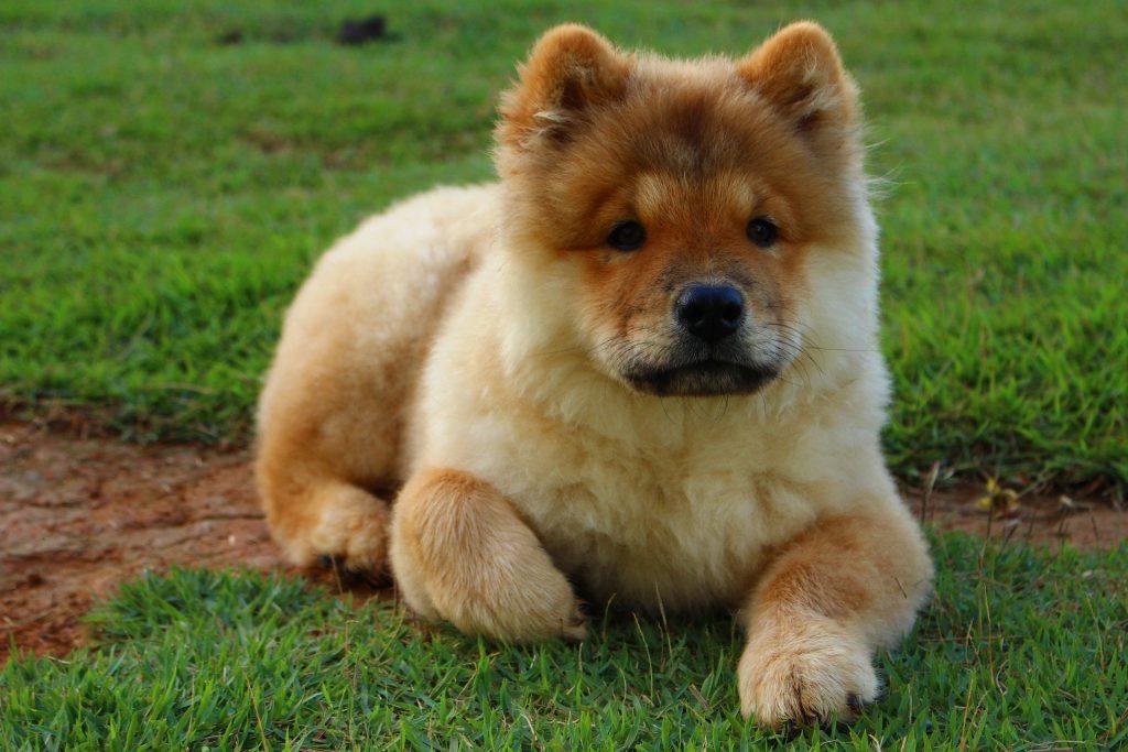 Top 10 Najskupljih Pasmina Pasa Na Svijetu