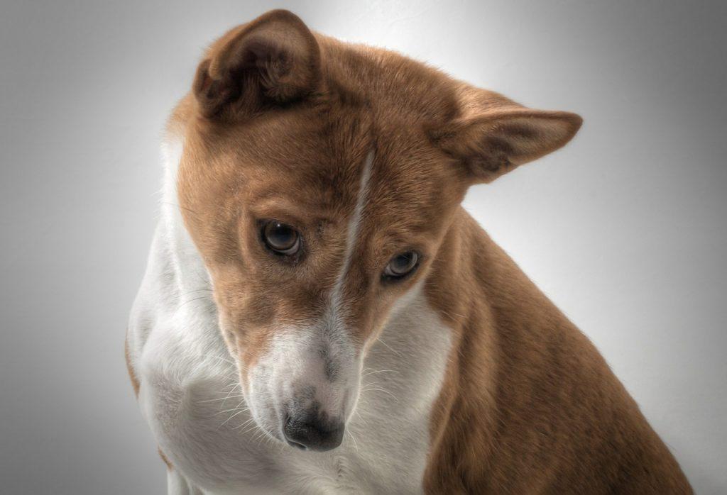 Basenji pas