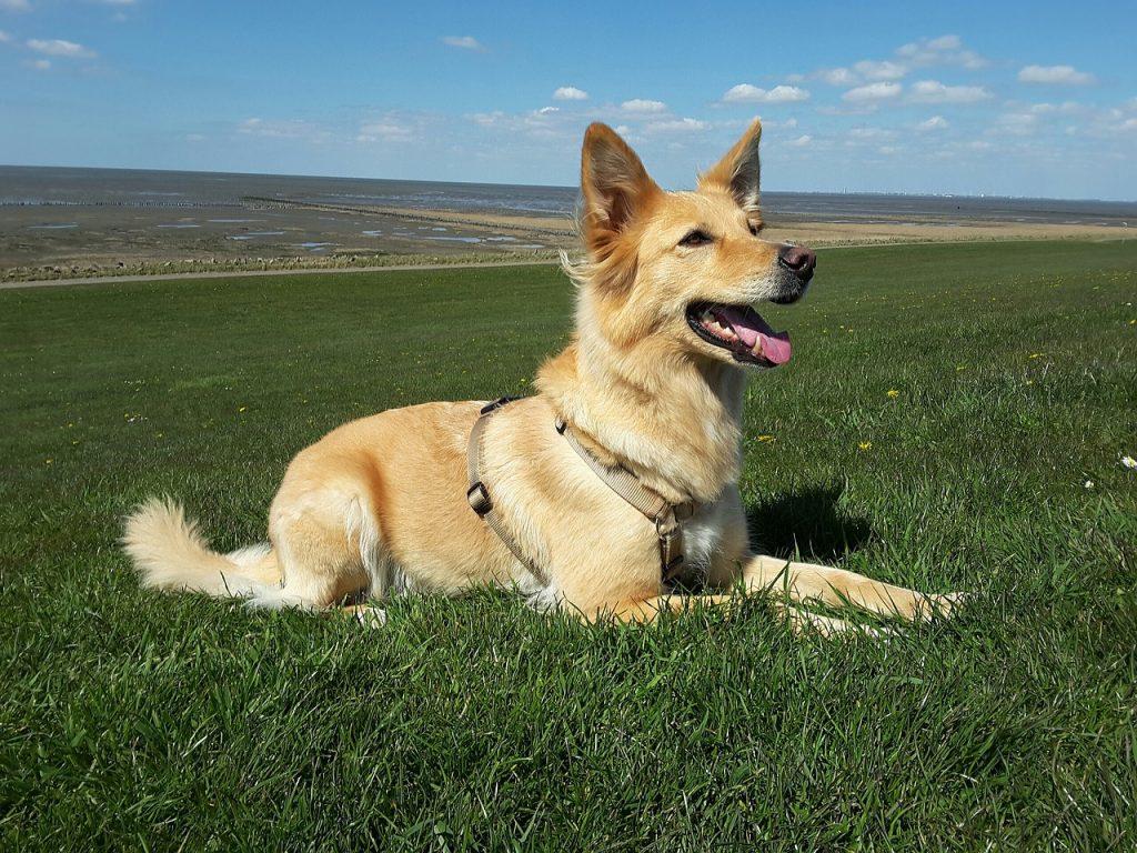 Kako naučiti psa naredbu lezi