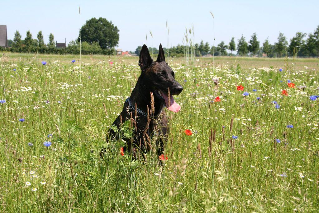 Nizozemski Ovčar