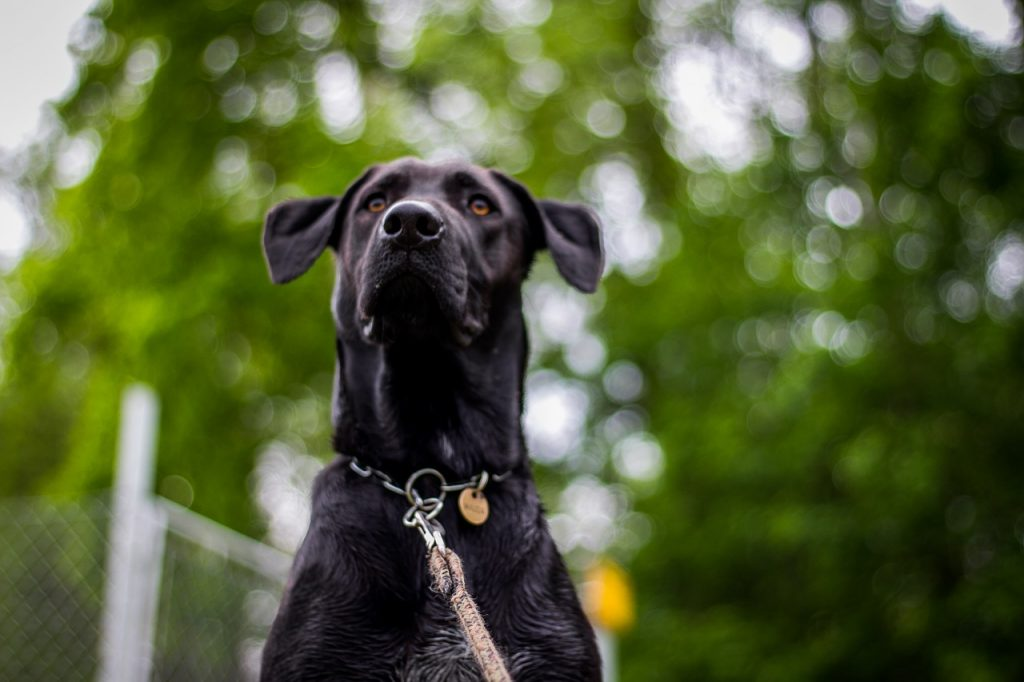 Ogrlica za pse - davilica