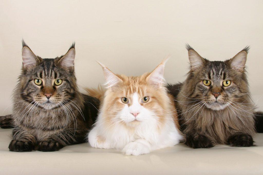 Savršene slike maca