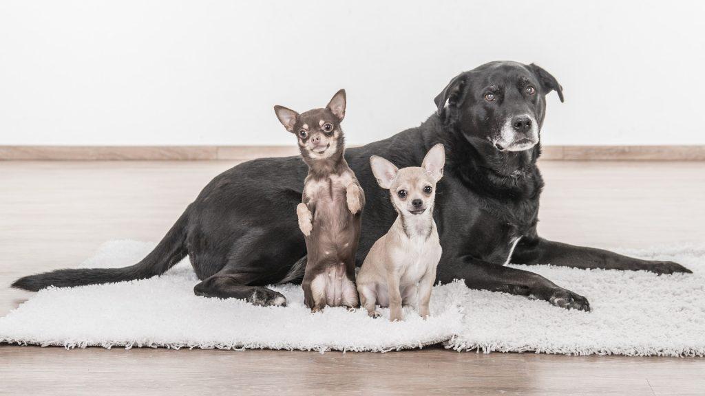 Top 10 najboljih pasmina pasa za stan