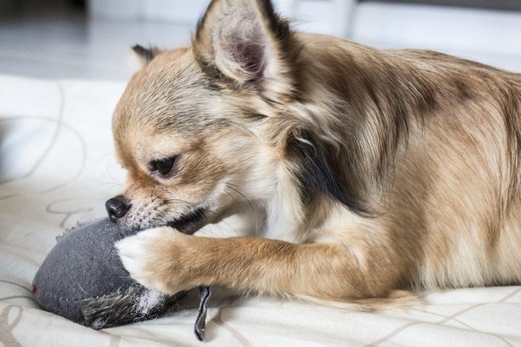 Pas žvače vaše stvari