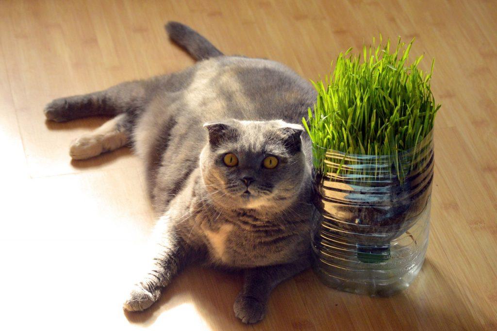 Škotska mačka