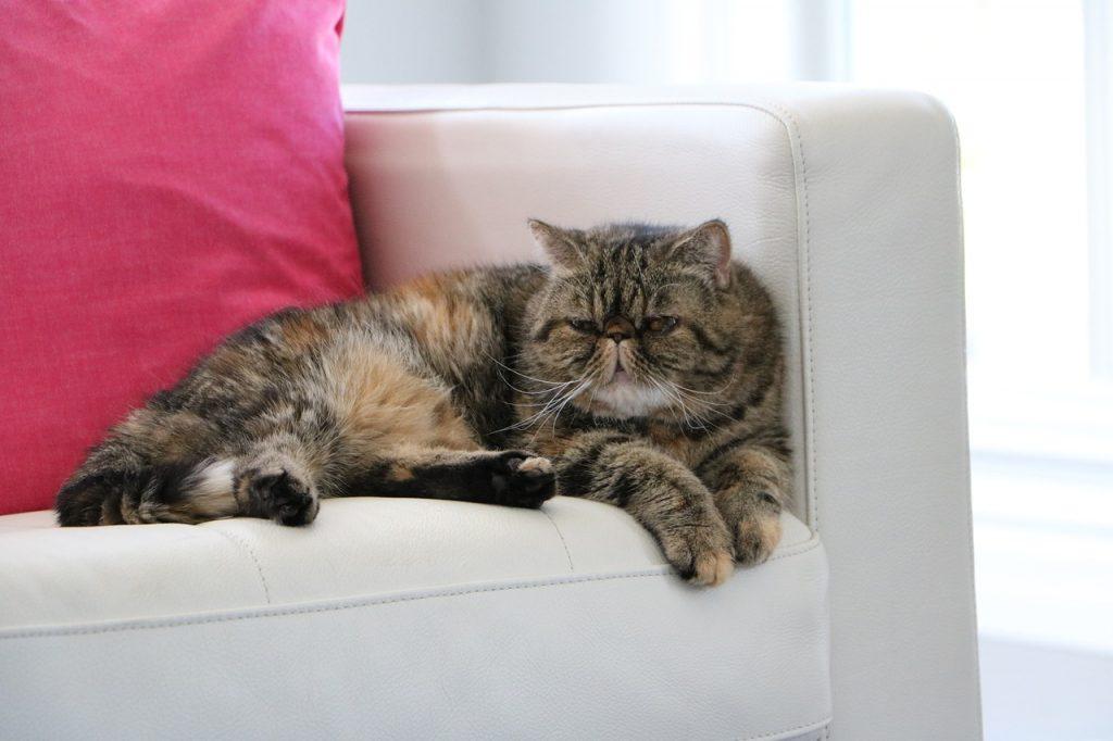 Egzota mačka ili kratkodlaka perzijska mačka