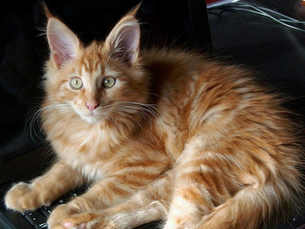 Maine Coon mačka