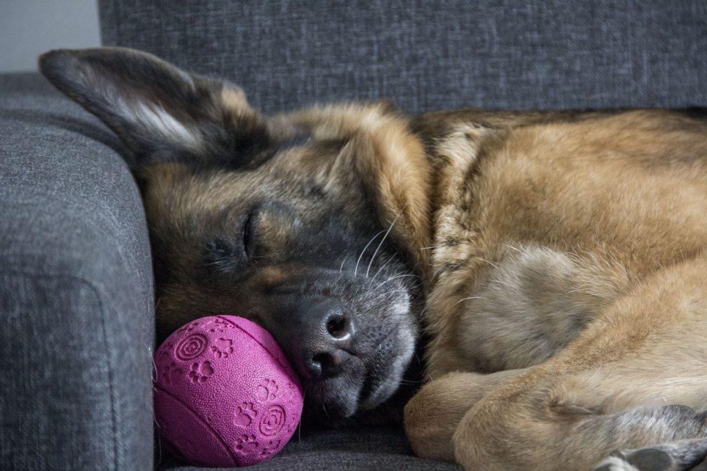 Pas spava