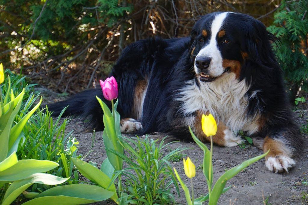 Bernski Planinski Pas ili Bernese dog