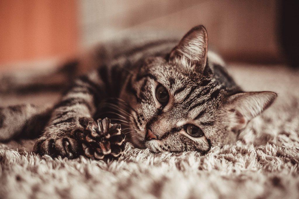 Mačka Prede