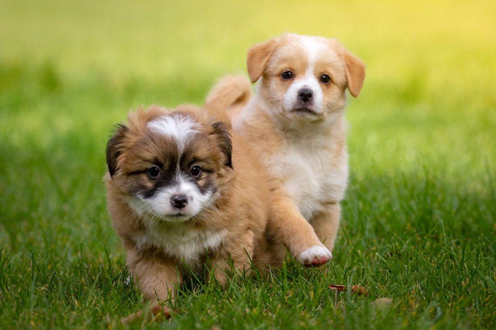 Top 10 pasmina pasa s najslađim štencima