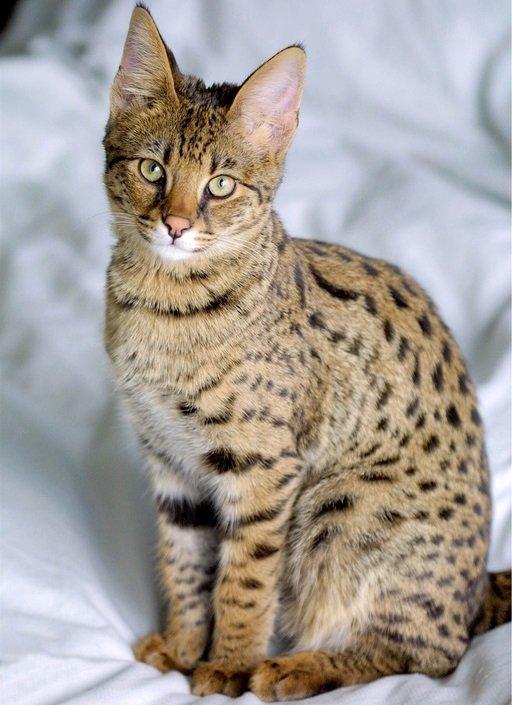 Egyptian Mau mačka
