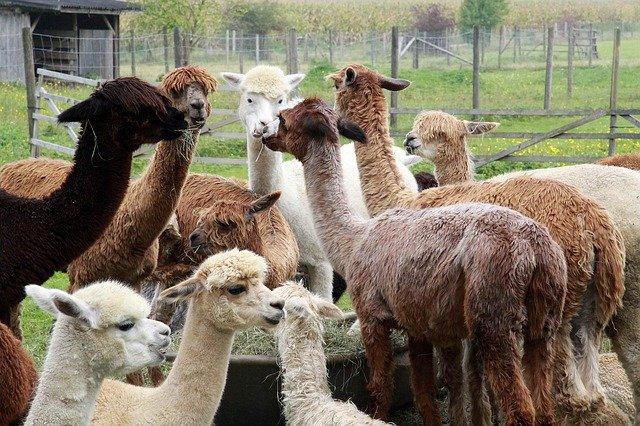 Čime se hrane Alpake